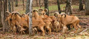 Aoudad Hunting Tennessee