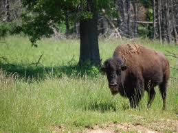 Buffalo Hunts Tennessee